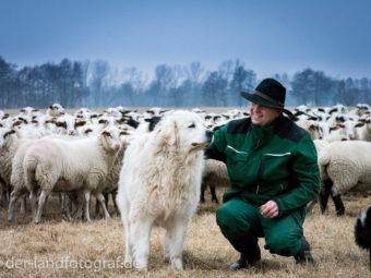 Schäfer Jürgen Körner mit einem seiner Herdenschutzhunden bei der Schafherde