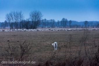 Ein Herdenschutzhund beobachtet mich. Im Hintergrund seine Schafherde