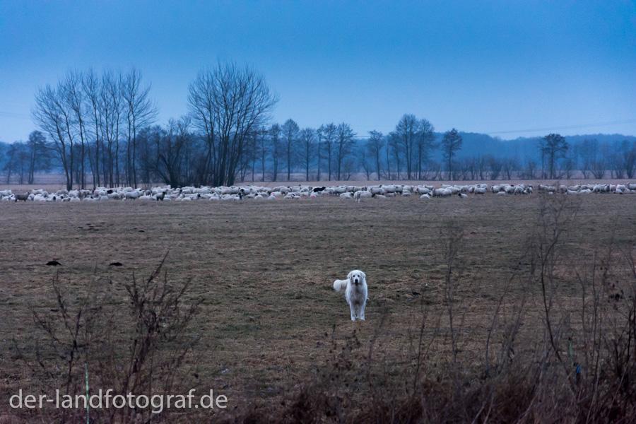 Herdenschutzhund und Schafherde