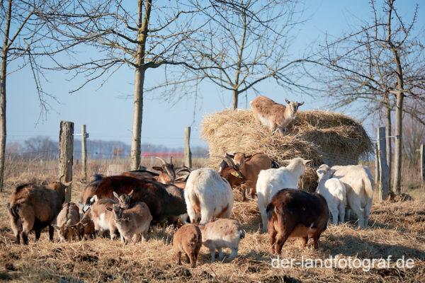 Eine Ziegenherde zerlegen einen Strohballen, Archehof Gut Falkenhain im Boitzenburger Land